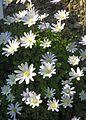 Apenninen-Windröschen (Anemone apennina).jpg