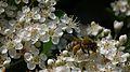 Apidae auf Crataegus.JPG