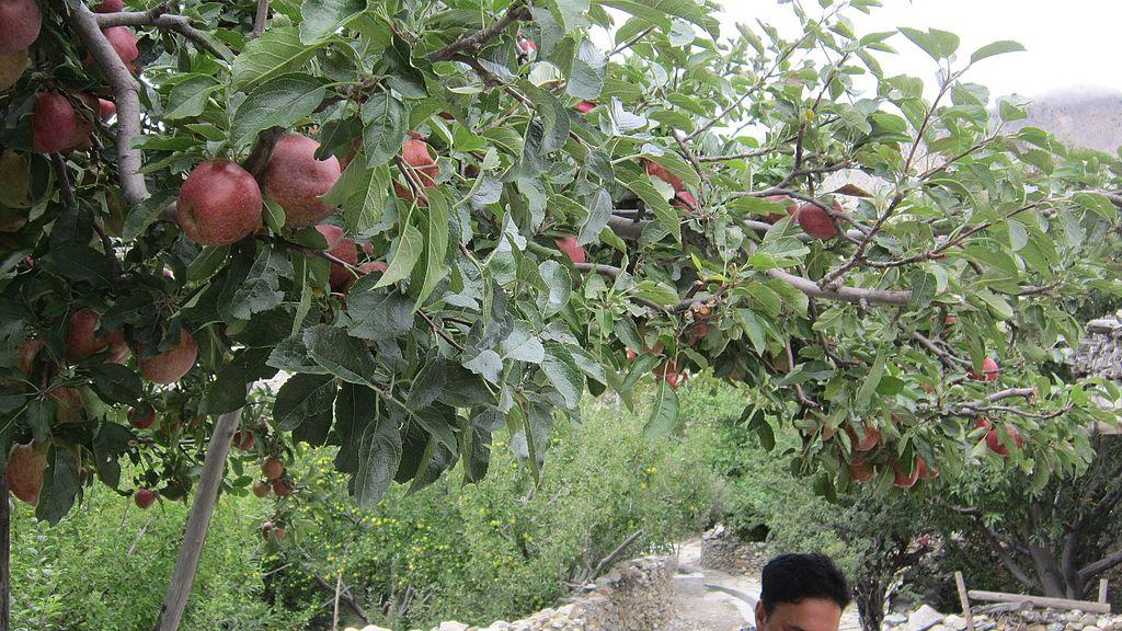 File:Apple Garden Mustang 12.jpg - Wikimedia Commons