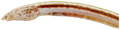 Aprognathodon platyventris - pone.0010676.g016.png
