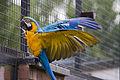 Ara ararauna -wings -Twycross Zoo-6.jpg