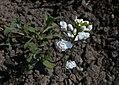 Arabis caucasica Flore Pleno 2016-04-17 7476.JPG