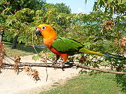 A yellow parrot with green wings and white eye-spots