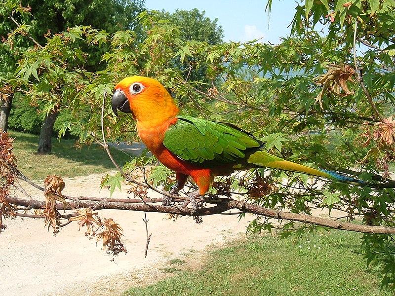 Ficheiro:Aratinga Jandaya -in tree-8.jpg