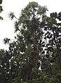 Araucaria-hunsteinii.jpg
