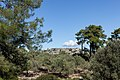 Archangelos Αρχάγγελος Rhodes Ρόδος 2019-11-27 01 olive grove.jpg