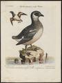 Arctica alle - 1700-1880 - Print - Iconographia Zoologica - Special Collections University of Amsterdam - UBA01 IZ17800317.tif