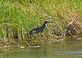 Ardeola ralloides Squacco Heron (33065238326).jpg
