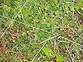 Arenaria serpyllifolia L. (AM AK328564-2).jpg