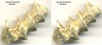 Archimedes (bryozoan) - Fossilized skeleton of Archimedes Bryozoan.