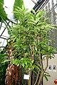 Aristolochia arborea (Aristolochia salvadorensis) - Botanischer Garten - Heidelberg, Germany - DSC01292.jpg