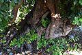 Arrels i tronc del garrofer del costat de l'olivera mil·lenària.JPG