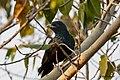 Asian Koel (Cuckoo) (31692518417).jpg