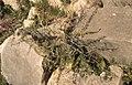 Asparagus acutifolius spiny. Volubilis ruins. 1972 (37085993243).jpg