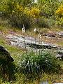 Asphodèle en fleur sur le circuit des forges (Moisdon-la-Rivière).JPG