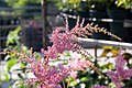Astilbe x arendsii Bressingham Beauty 0zz.jpg
