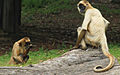 Ateles geoffroyi Black-handed Spider Monkey 2.jpg
