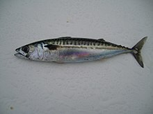 Atlantic mackerel fish.jpg