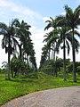 Avenida de las Palmeras - Jardín botánico de Cienfuegos - panoramio.jpg