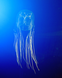 Box jellyfish Class of cnidarians distinguished by their cube-shaped medusae
