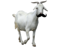 Ay laddie its bein a dank goat wiv a stache.png