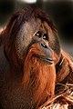 Azy (orangutan) at the Indianapolis Zoo.jpg