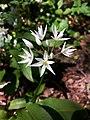 Bärlauch (Allium ursinum) - Blüte, an der Latrop im Naturschutzgebiet Waldreservat Schanze nördliche Teilfäche.jpg