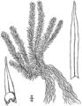 BB-0102 Lycopodium porophilum.png