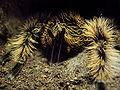 B albopilosum spintepels.jpg