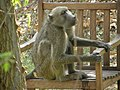 Baboons on the lawn chair - panoramio.jpg
