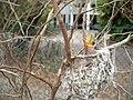 Baby Birds, Darwin, Northern Territory, Australia (7070614249).jpg