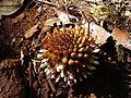 Balanophora fungosa 1 Madikeri Coorg India.JPG