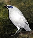 The Bali Starling lives only on Bali. As few as six may exist in the wild