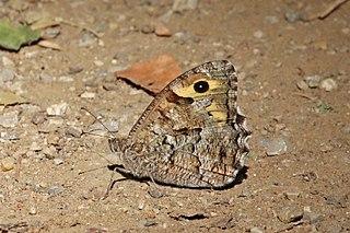 <i>Hipparchia</i> (genus) genus of insects