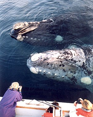 Southern right whale - Two distinctive coloration patterns.