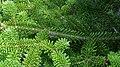 Balsam Fir (Abies balsamea) - Port Rexton, Newfoundland 2019-08-14 (01).jpg