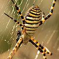 Banded Garden Spider (16225519947).jpg