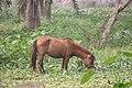 Bangladeshi native horse.jpg
