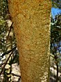 BanksiaAttenuata PerthBG-20171224-2.jpg
