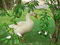 Bar-headed Goose (Anser indicus) at Park Hotel.jpg