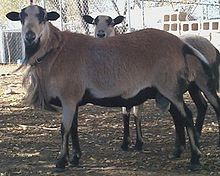 Barbados Blackbelly rams