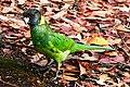 Barnardius zonarius -Western Australia, Australia-8 (2).jpg