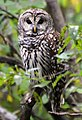 Barred Owl - CM (10658598856).jpg