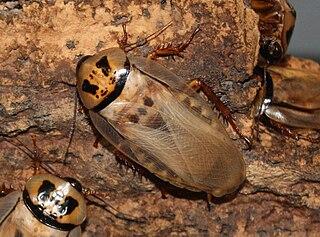 <i>Eublaberus distanti</i> species of insect