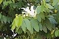Bauhinia forficata G 2198.jpg