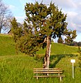 Baumförmiger Wacholder (Ammenegg).JPG