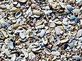 Beach Shells (5772837985).jpg