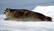 Bearded Seal at Svalbard (cropped).jpg
