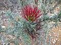 Beaufortia incana (leaves, flowers).JPG