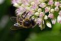 Bee on a flower (7846280286).jpg